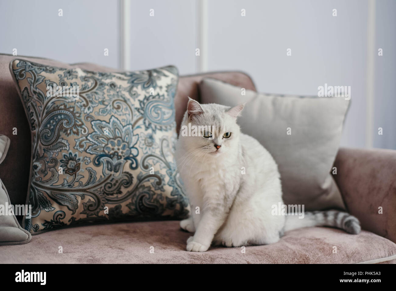 beautiful white grey cat on cauch in classic french home decor near rh alamy com French Country Cottage Decor French Country Cottage Decor
