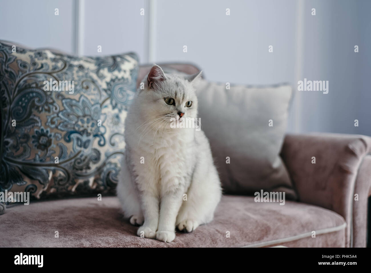 beautiful white grey cat on cauch in classic french home decor near rh alamy com Classic Room Decor Vintage French Country Decor