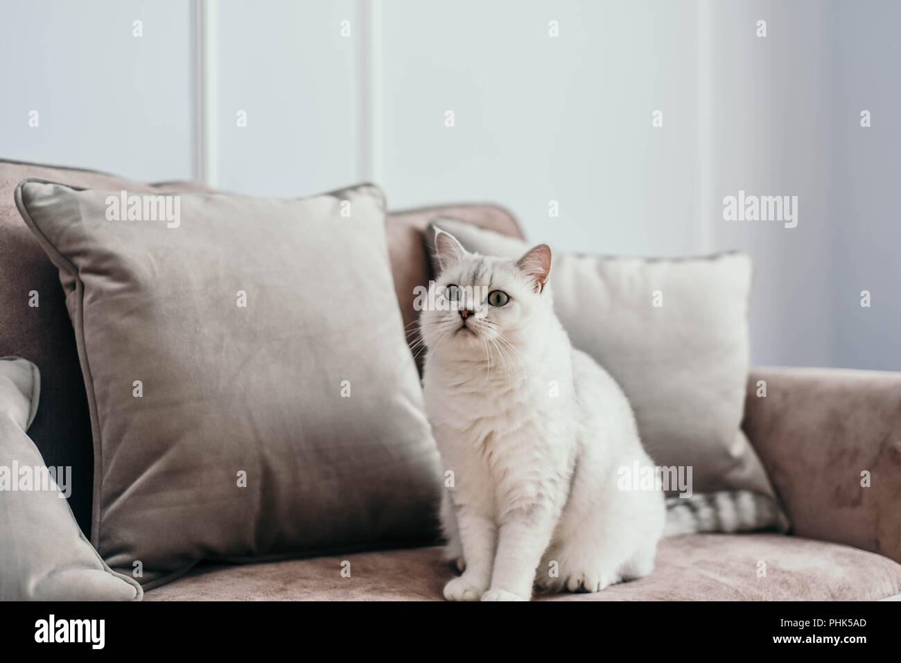 beautiful white grey cat on cauch in classic french home decor near rh alamy com French Parisian Decor Classic Room Decor