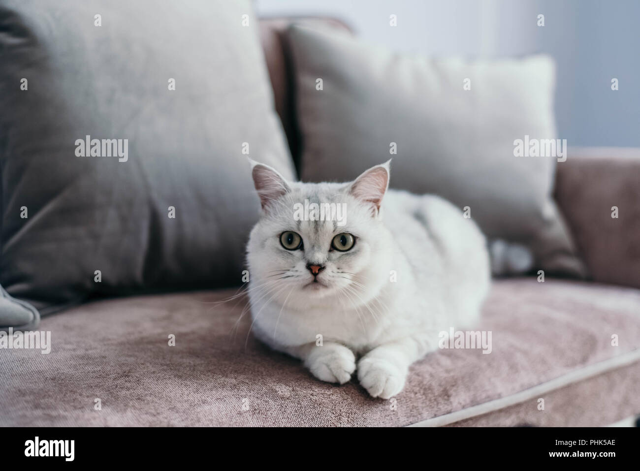 beautiful white grey cat on cauch in classic french home decor near rh alamy com Vintage French Country Decor Vintage French Decor