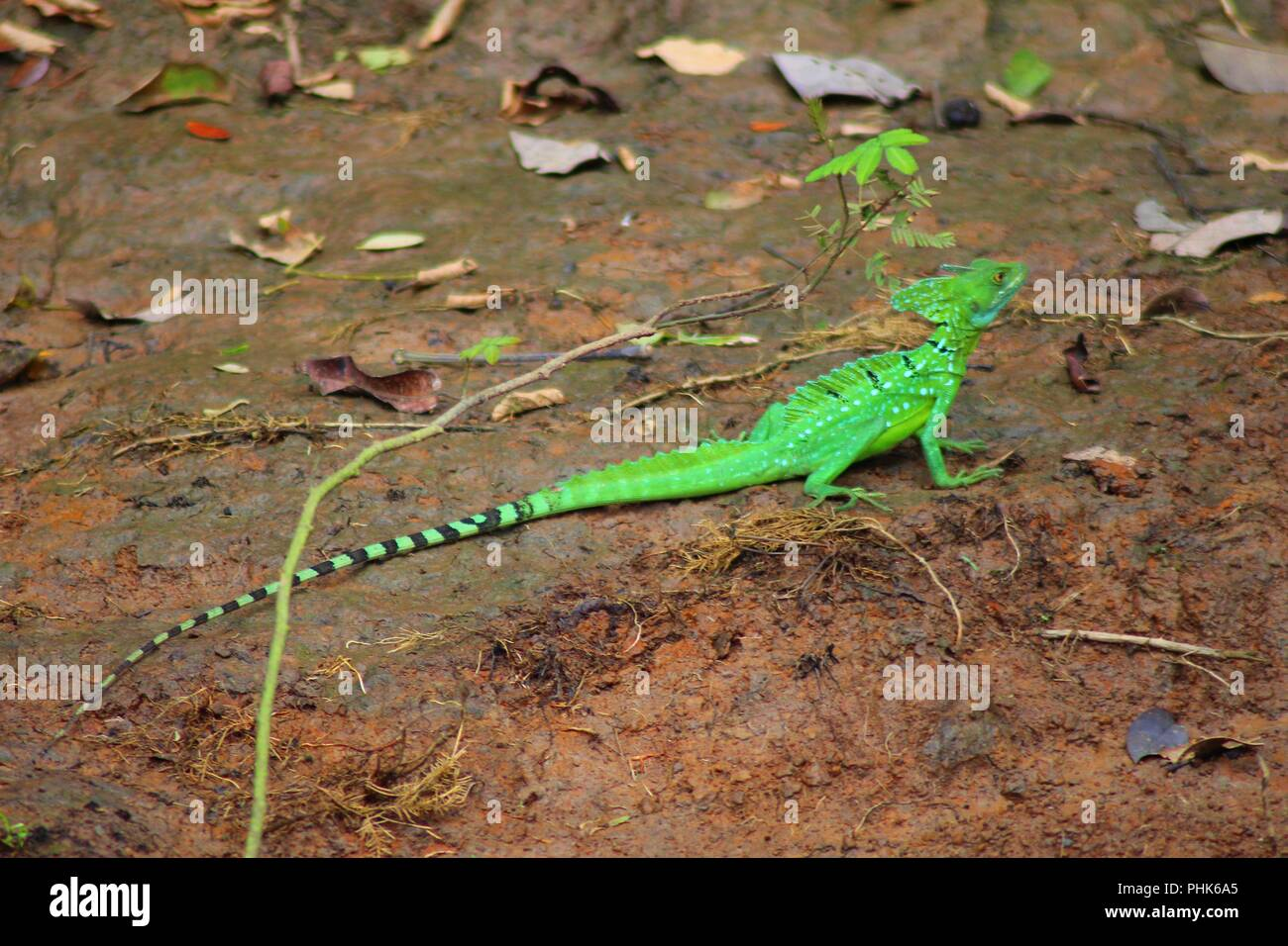 Jezus Christ Lizard or Plumed Basilisk - Costa Rica Stock Photo