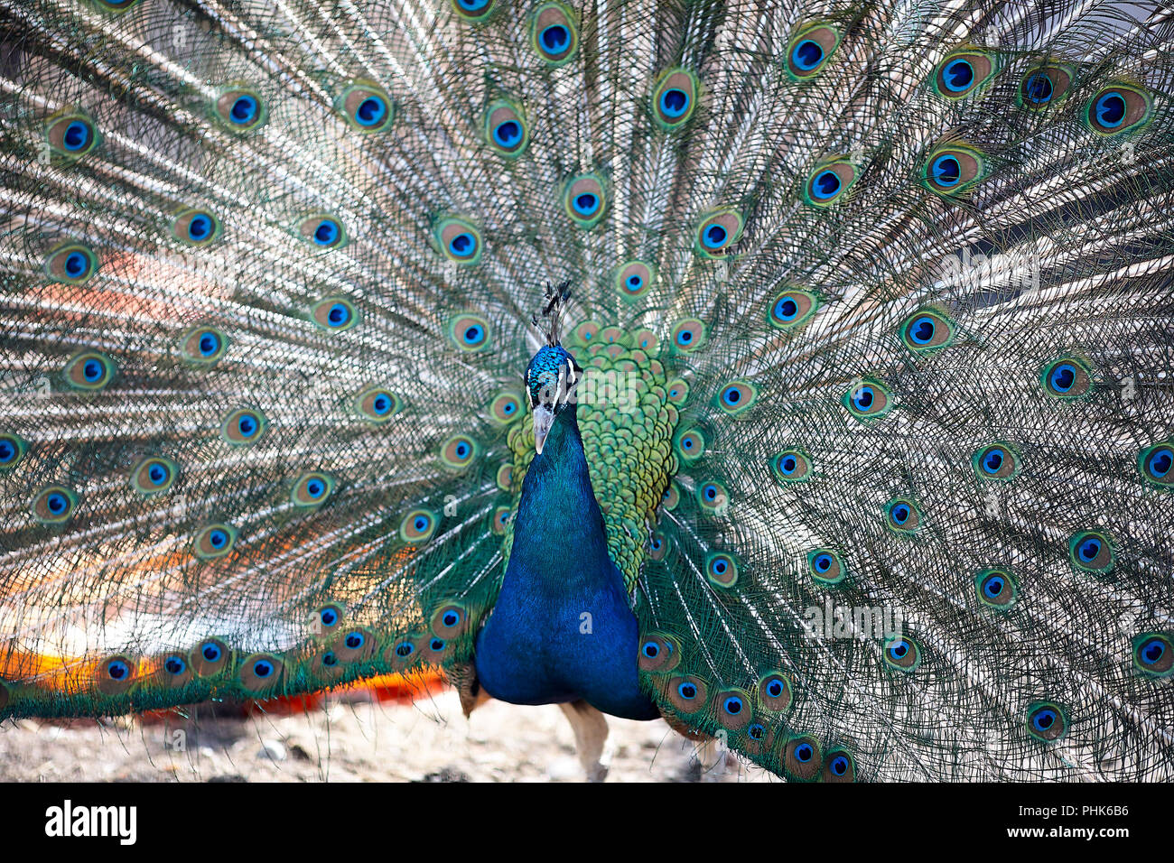 A beautiful male peacock expanded feathers. nice and colorfull. park outside - Stock Image