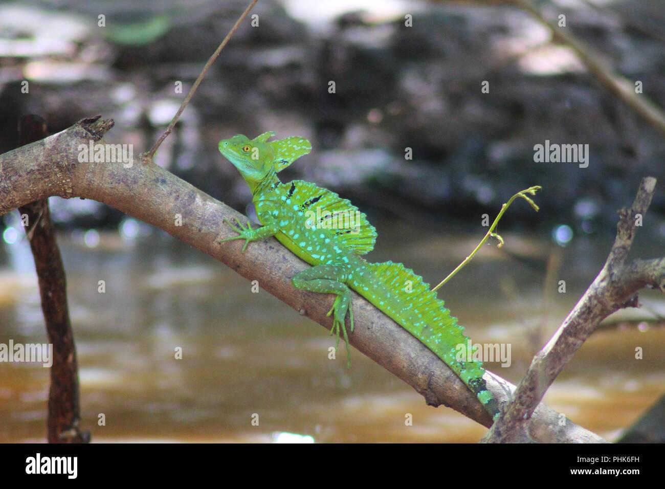Jezus Christ Lizard or Plumed Basilisk - Costa Rica Stock Photo