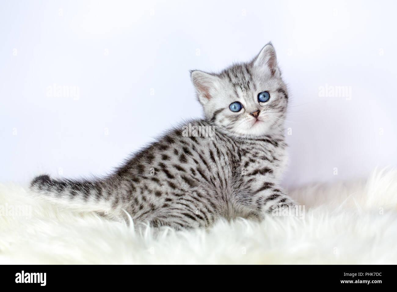 Black Silver Tabby Kitten Sits On Sheepskin Stock Photo Alamy