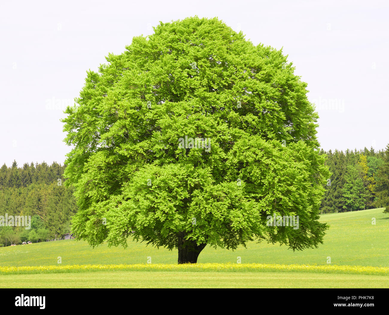 single big beech tree in meadow at spring - Stock Image