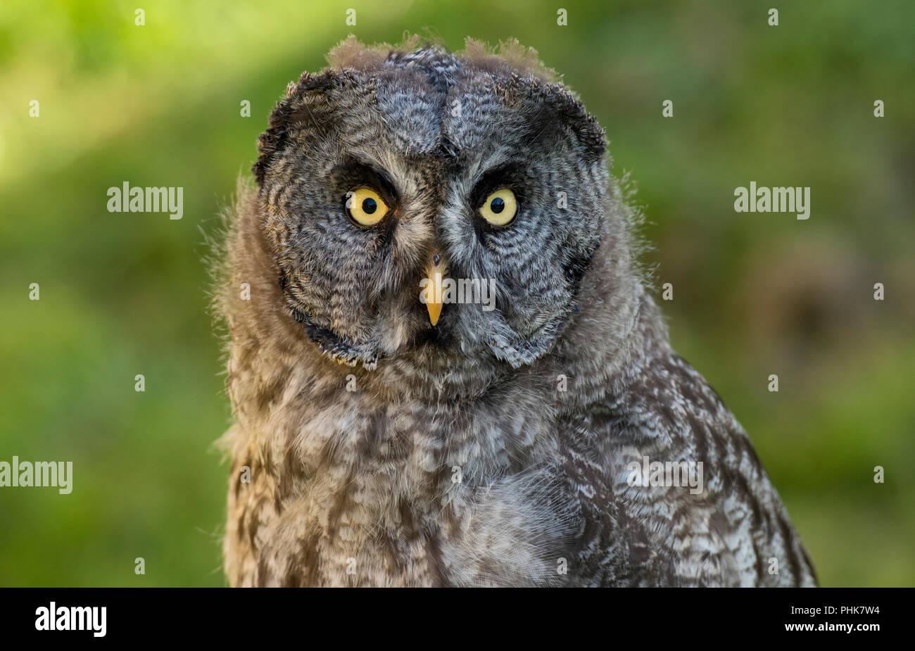 Great Grey Owl Diurnal Owl Yellow Eyes Day Time Hunter