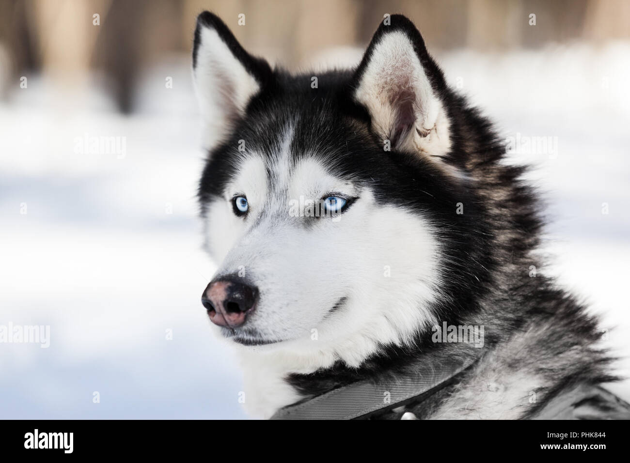 Cute siberian husky dog walking outdoor Stock Photo