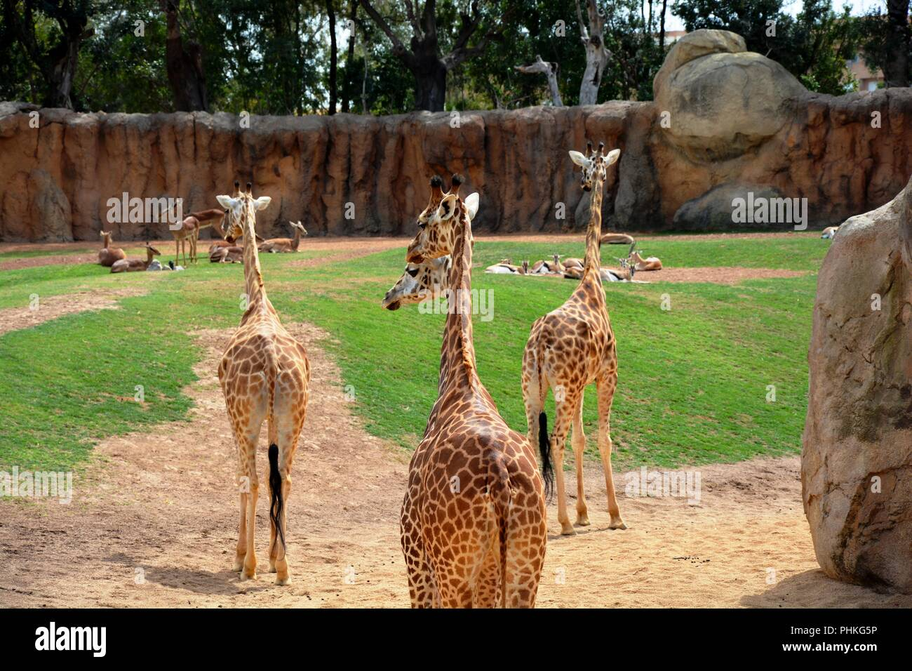 giraffes, one of two heads - Stock Image