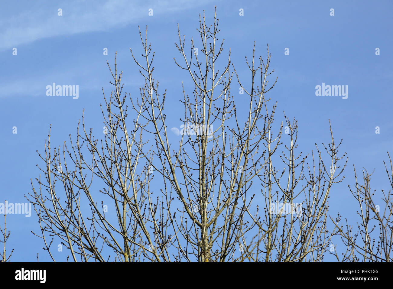 Ash tree, fraxinus, in the early spring Stock Photo