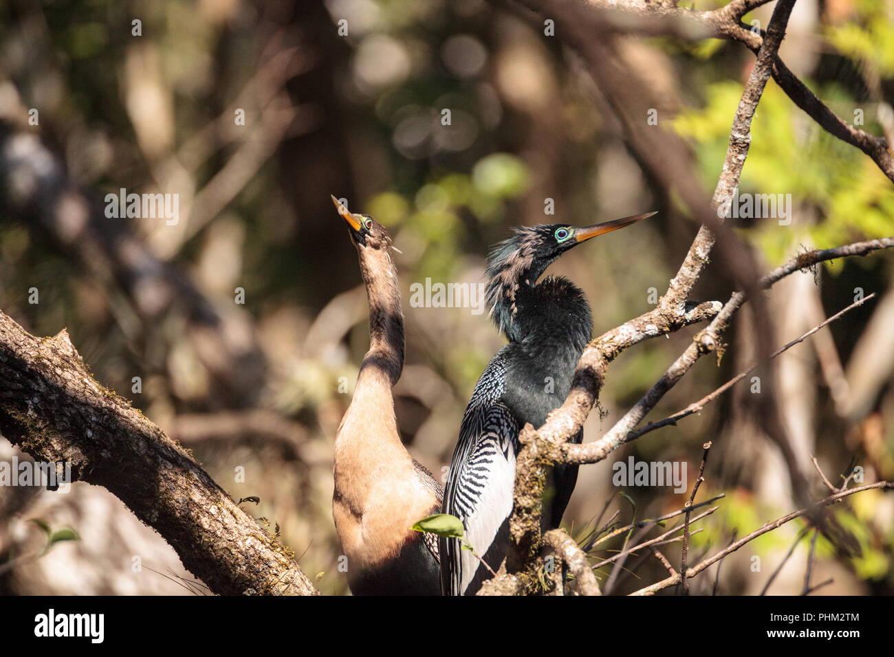 Courting Anhingas bird called Anhinga anhinga - Stock Image