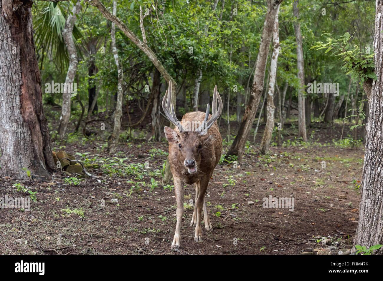 Timor rusa deer (Cervus timorensis) in the woods on Komodo Island, Indonesia - Stock Image