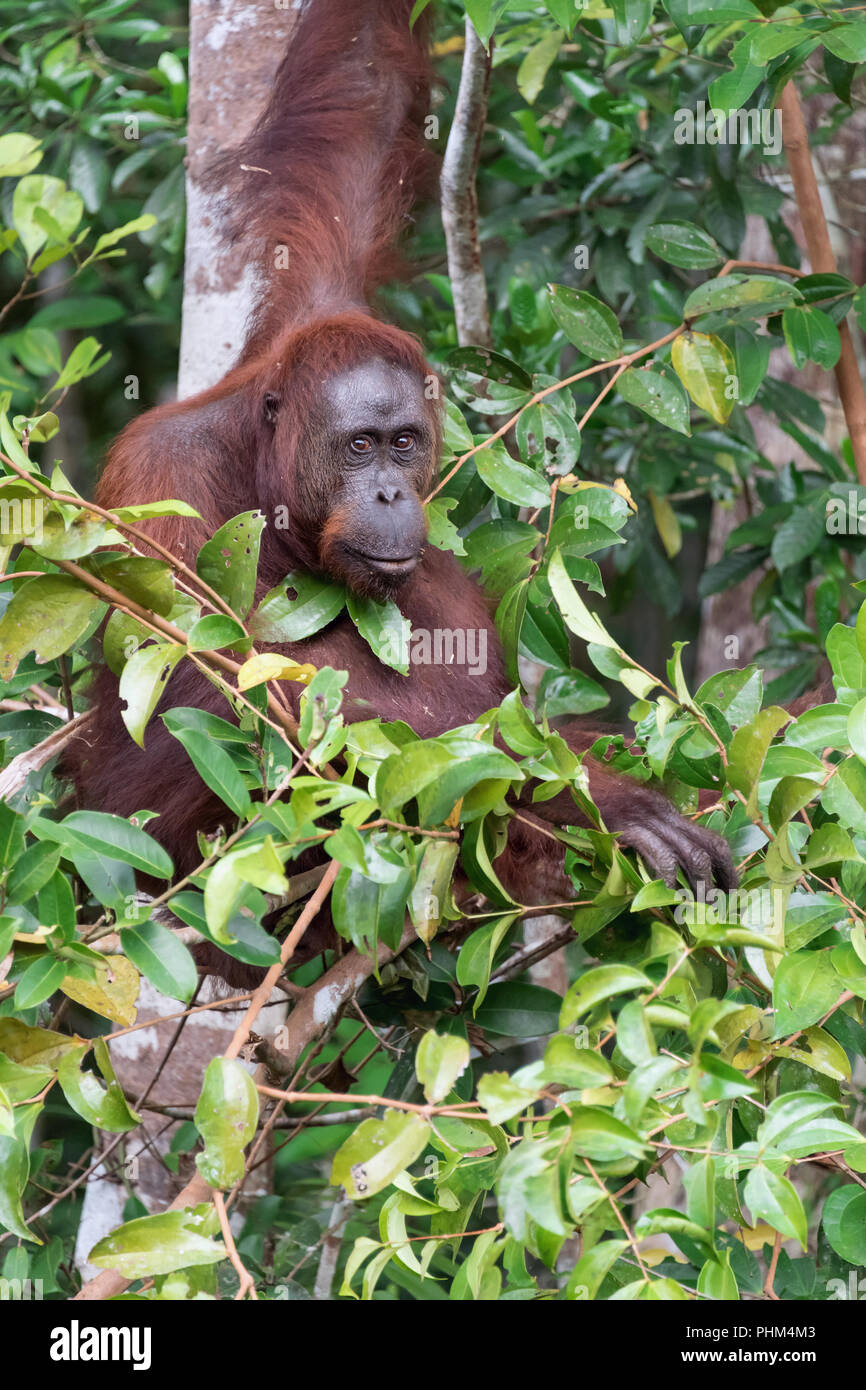 Wild orangutan moving aside leaves to get a better look at the human, Tanjung Puting National Park, Kalimantan - Stock Image