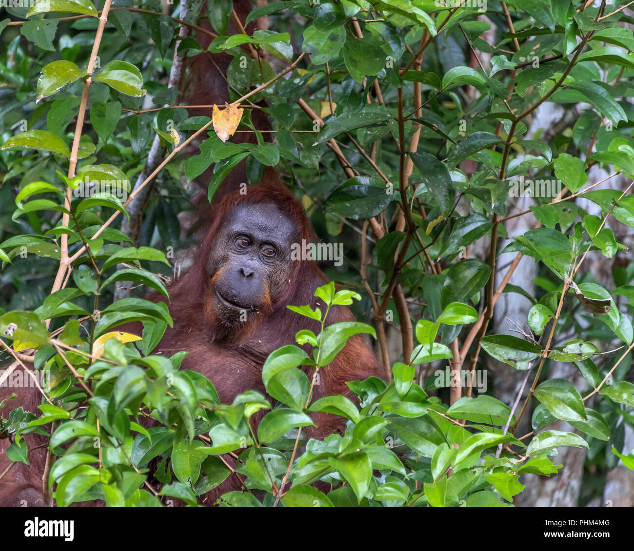 Wild orangutan peeking out of the forest, Tanjung Puting National Park, Kalimantan - Stock Image
