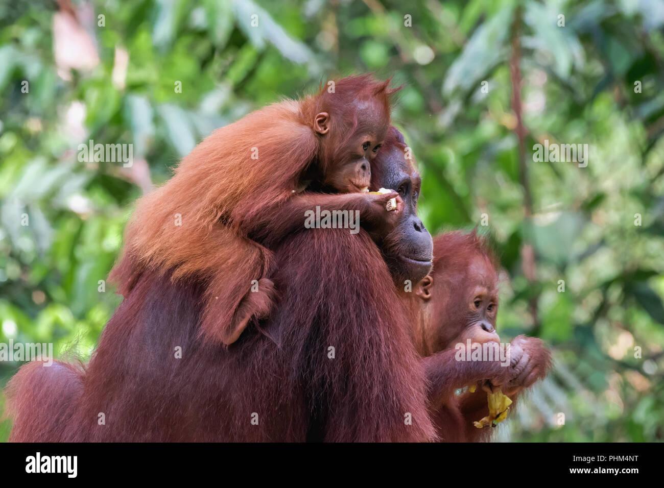 Orangutan family at the feeding station, Tanjung Puting National Park, Kalimantan - Stock Image