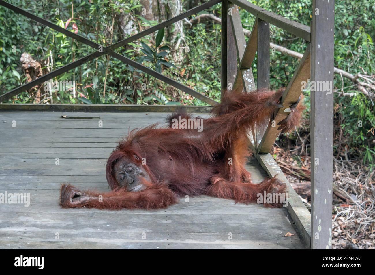 Wild Bornean oranutan finds a good place to take a nap, Tanjun Puting National Park, Kalimantan, Indonesia - Stock Image