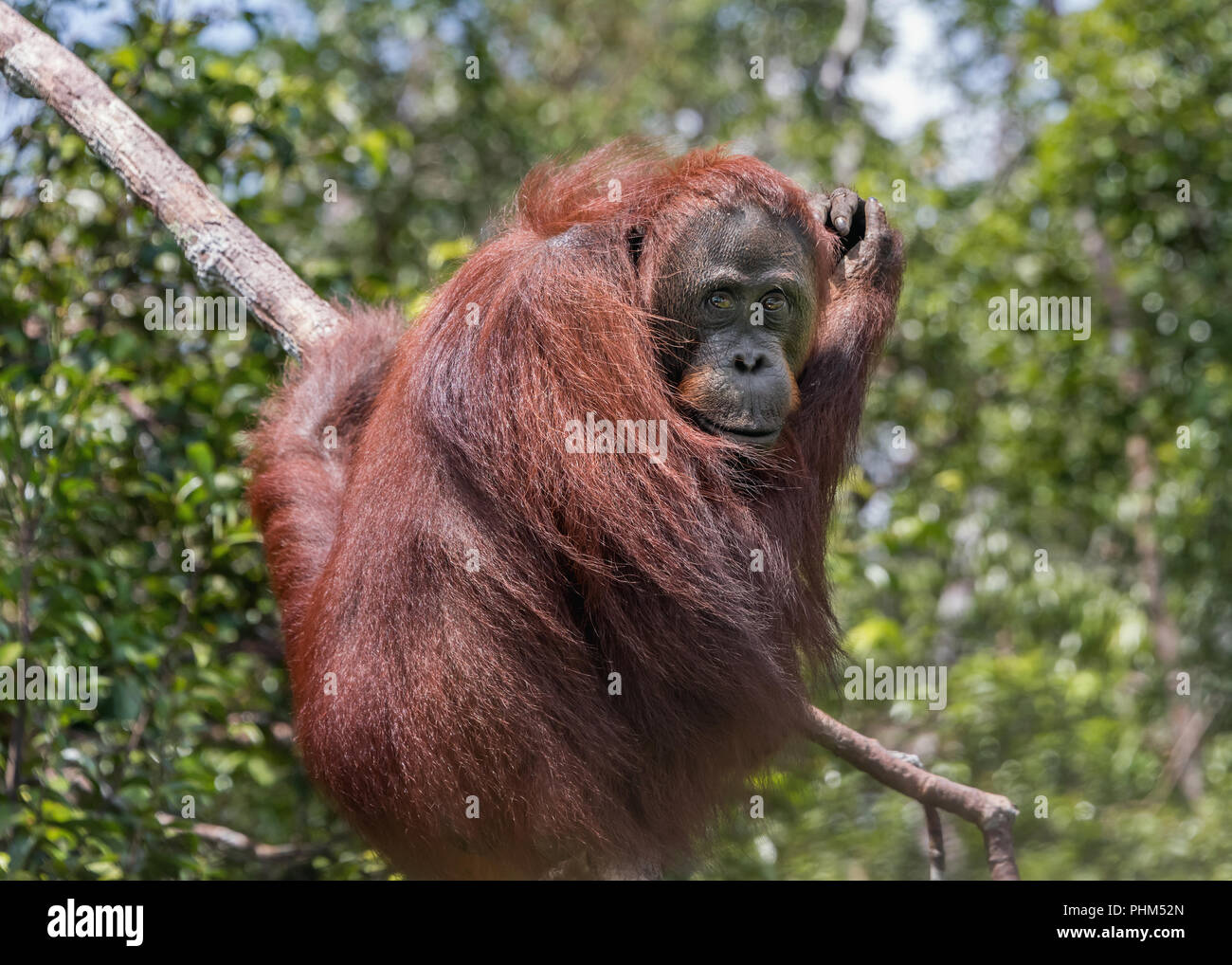 Wild orangutan curled up at the end of a branch by the Sekonyer River, Tanjug Puting NP, Indonesia - Stock Image