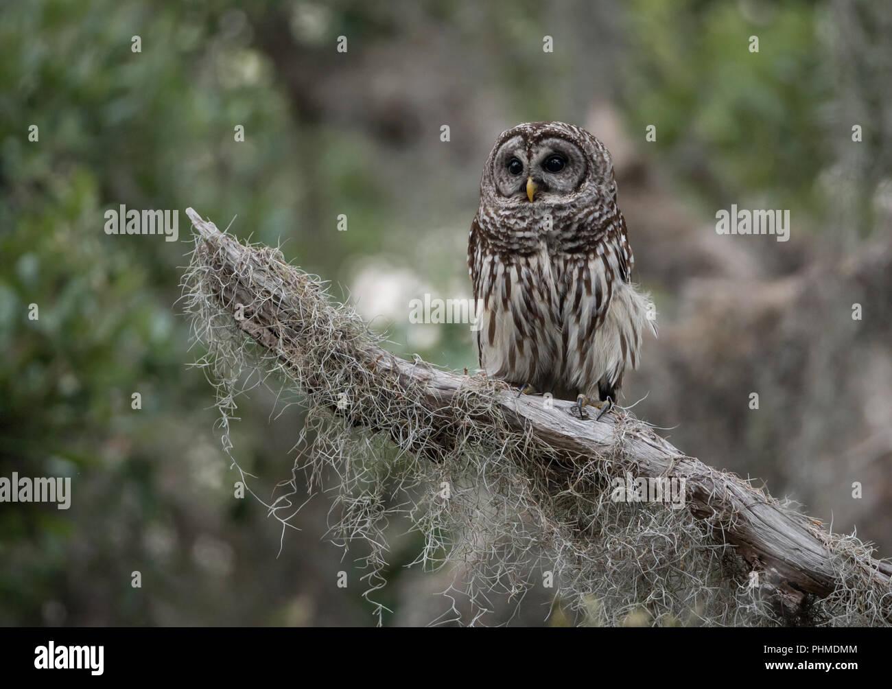 Barred Owl in Beautiful Scenery - Stock Image