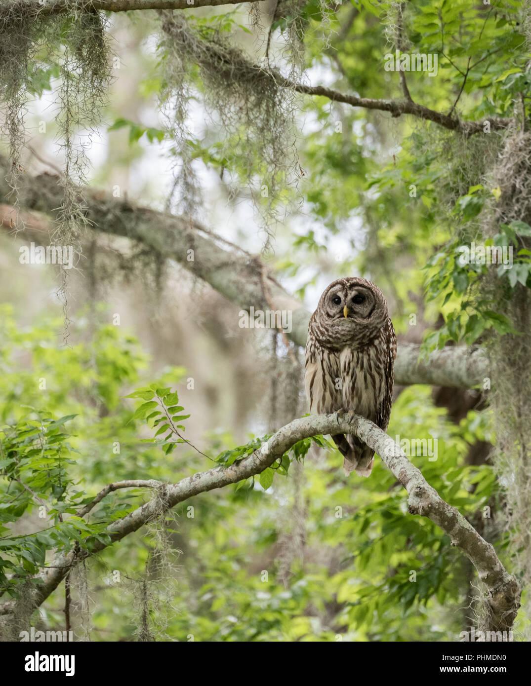 Barred Owl in Beautiful Scenery Stock Photo