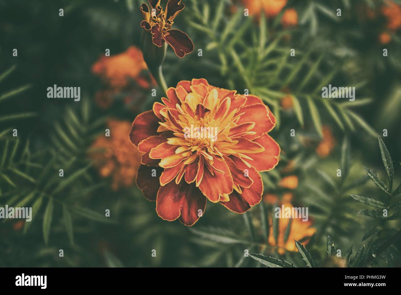Marigold flower. Garden flowers. Yellow flower. Orange flower. Summer flower. Stock Photo