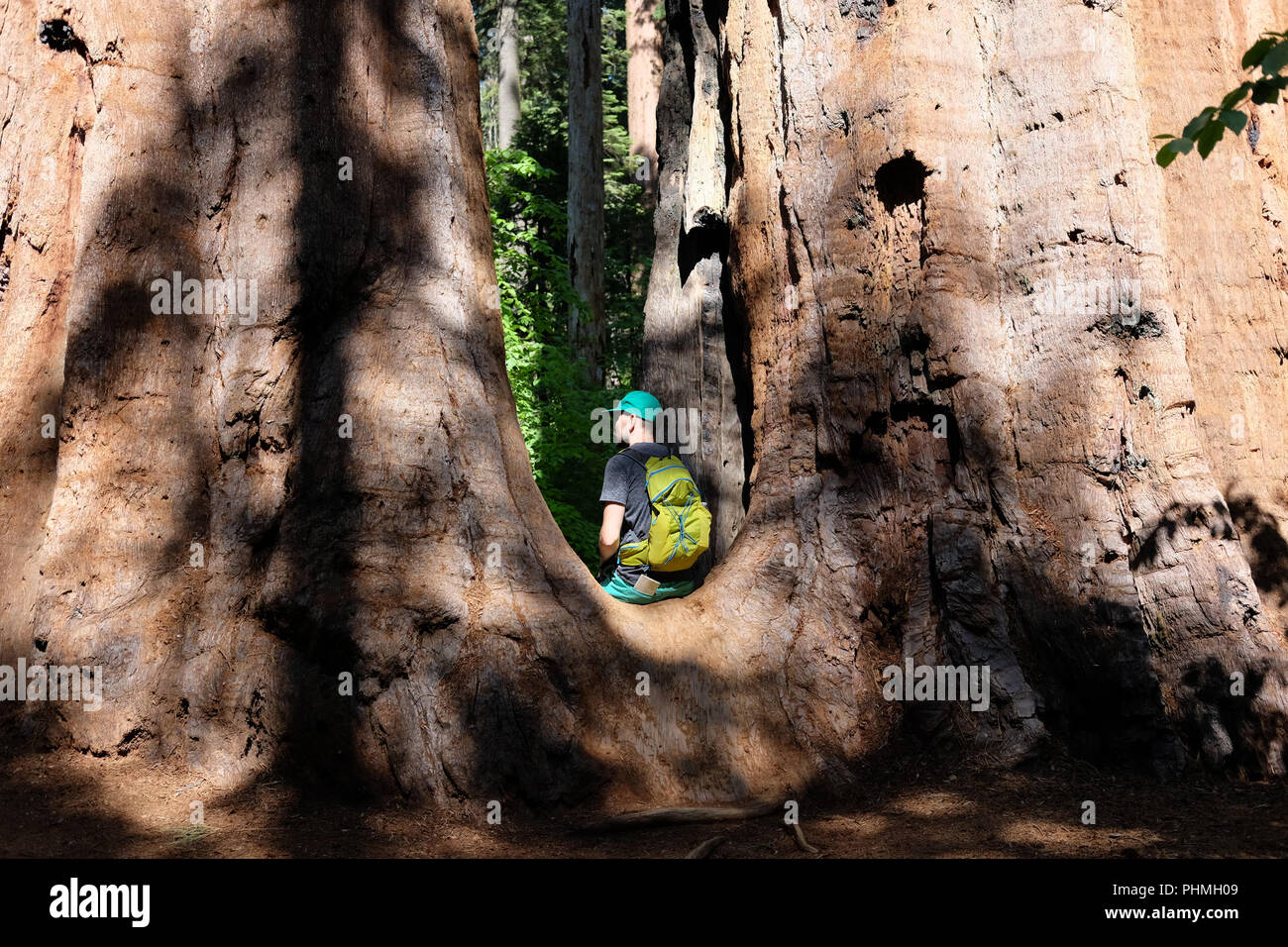 Tourist with backpack hiking among sequoia redwoods - Stock Image