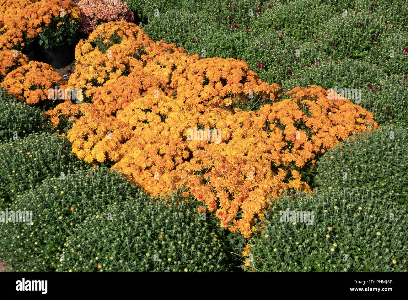 Potted orange garden mums for sale at a Montreal supermarket - Stock Image