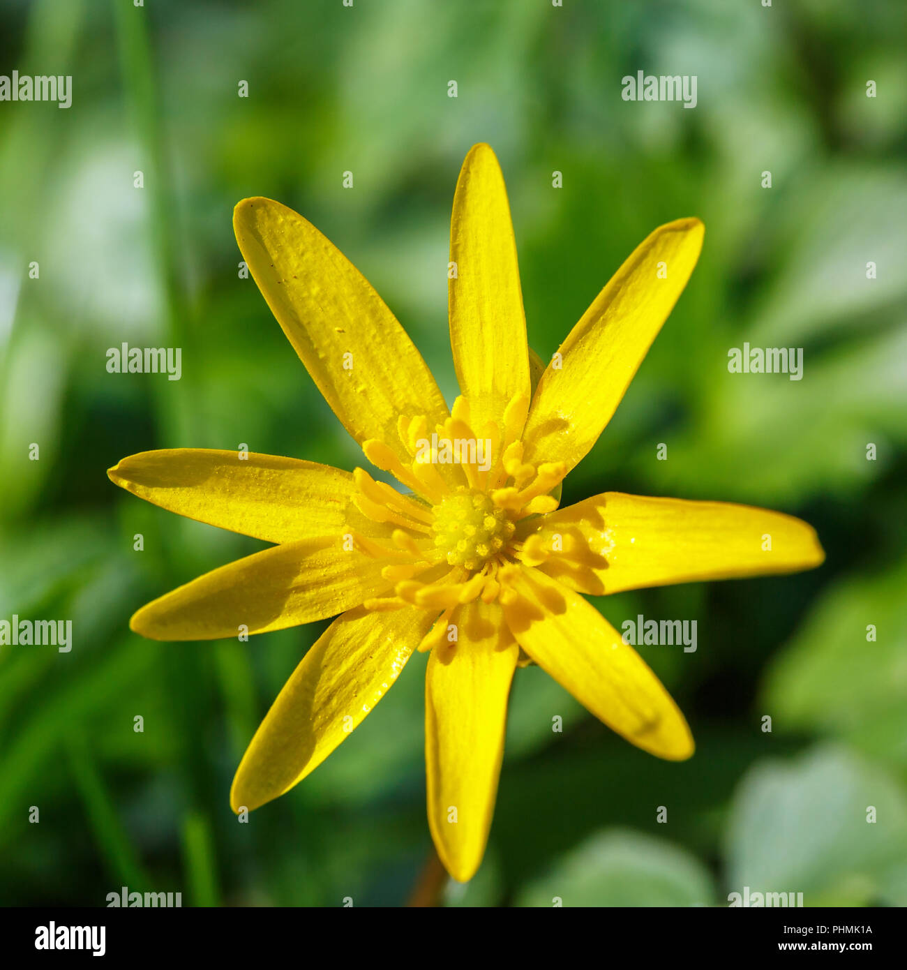 Close up at a Pilewort early spring flower - Stock Image
