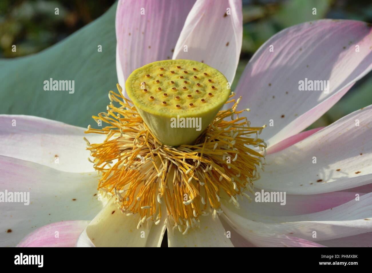 Lotus Leaves Close Up Stock Photos Lotus Leaves Close Up Stock