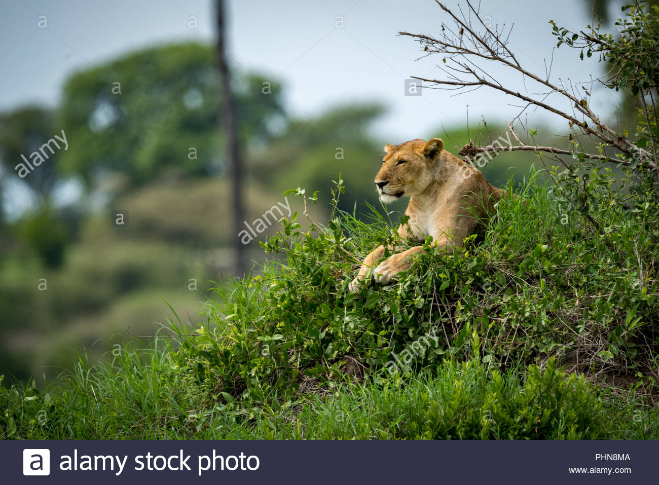 Lioness lying on grassy mound looking left - Stock Image