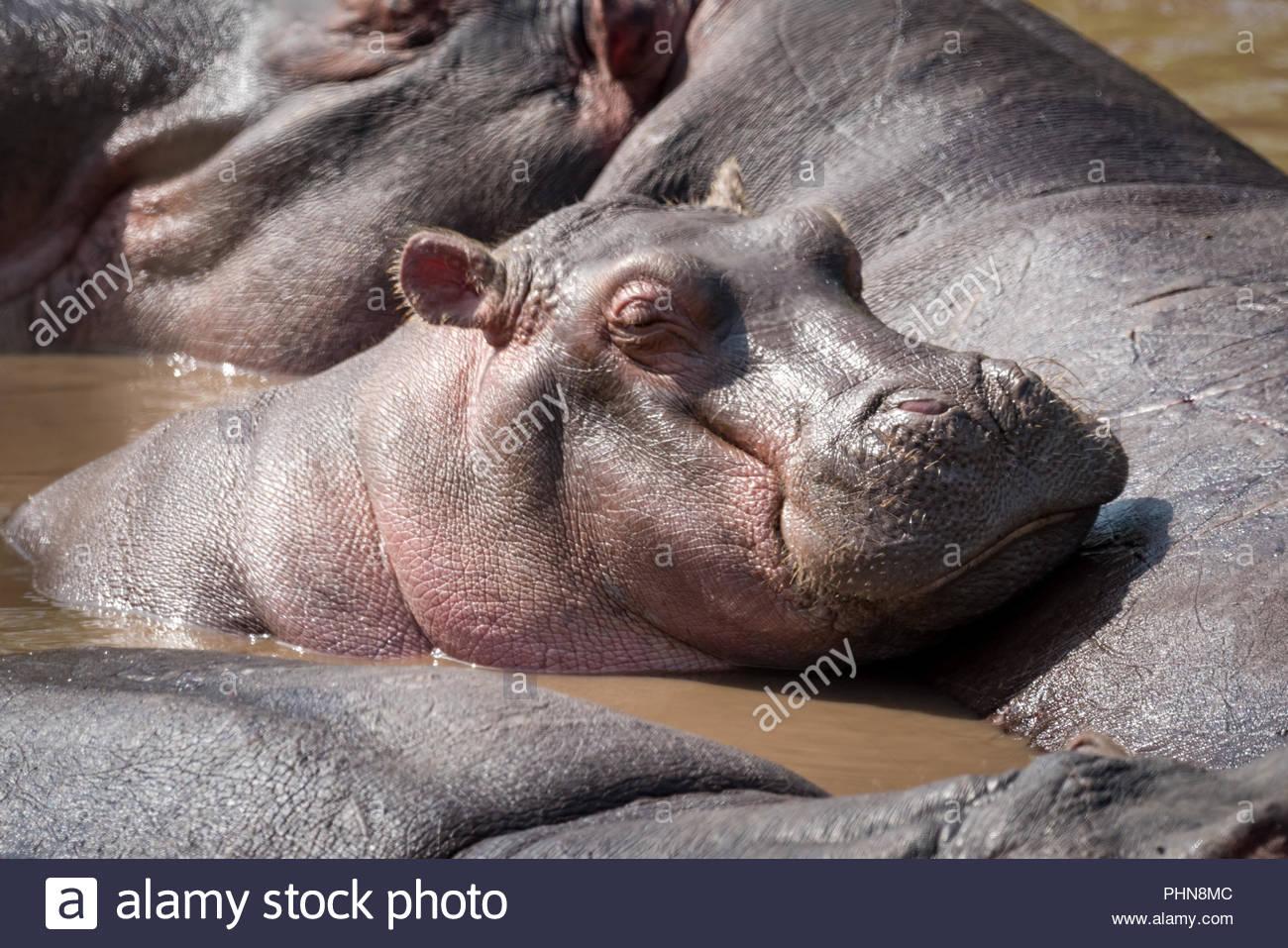 Hippopotamus dozing on another in muddy pool - Stock Image