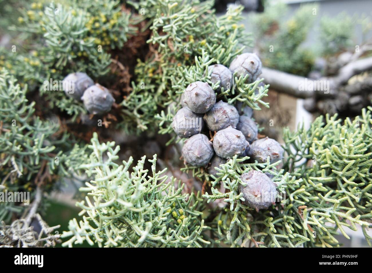 Cypress branch with cones - Stock Image