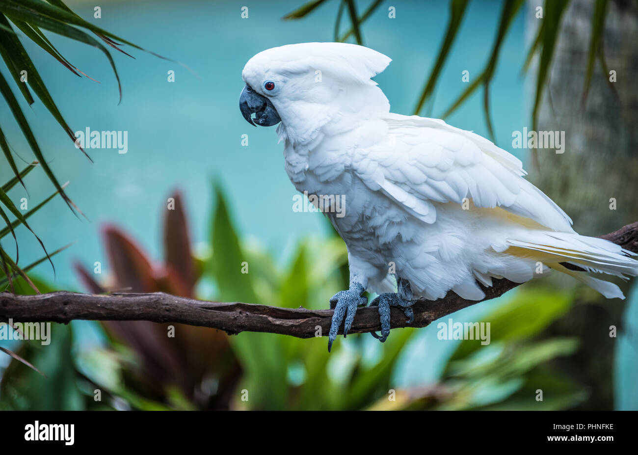 White umbrella cockatoo at St. Augustine Alligator Farm and Zoological Park in St. Augustine, Florida. (USA) - Stock Image