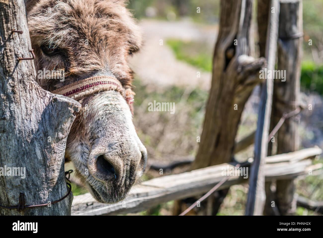 Sad donkey close up - Stock Image