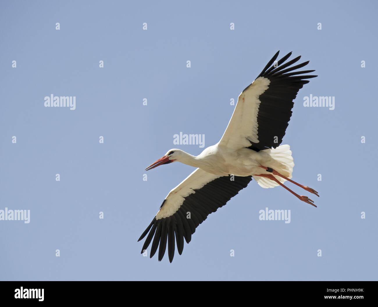 White Stork 'Ciconia ciconia' Stock Photo