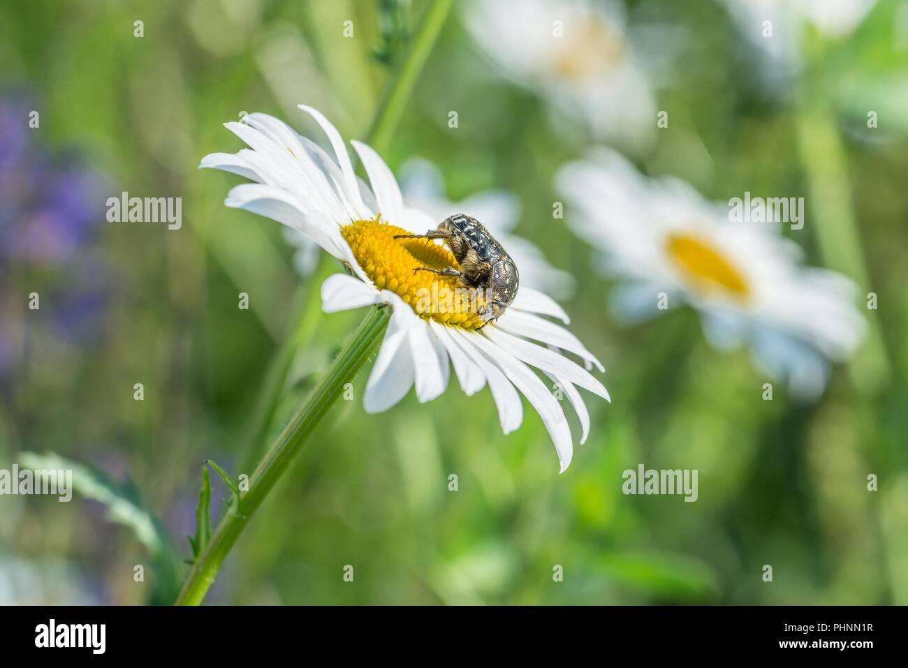 Mourning rose beetle on a flower meadow, Germany - Stock Image