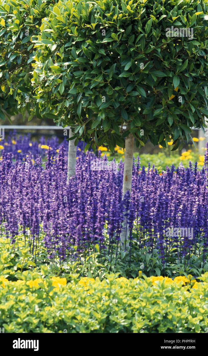 GARDEN SCENE FEATURING BUXUS STANDARDS AND PURPLE FLOWERS - Stock Image