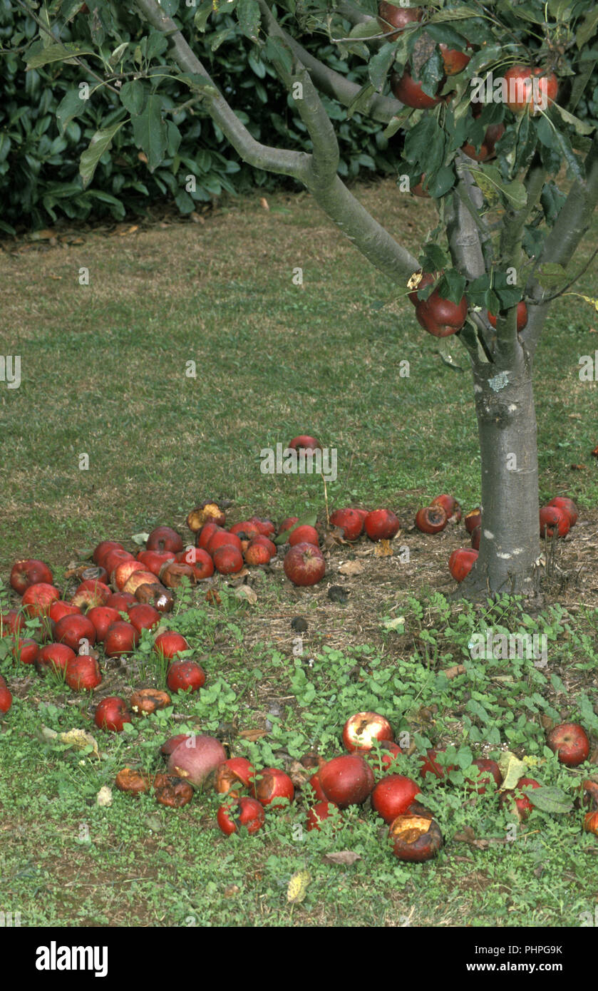 Fallen apples left to rot on the ground Stock Photo