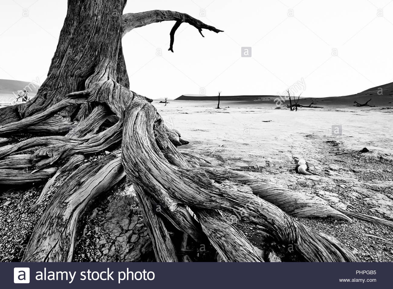 Tree in desert in Namibia - Stock Image