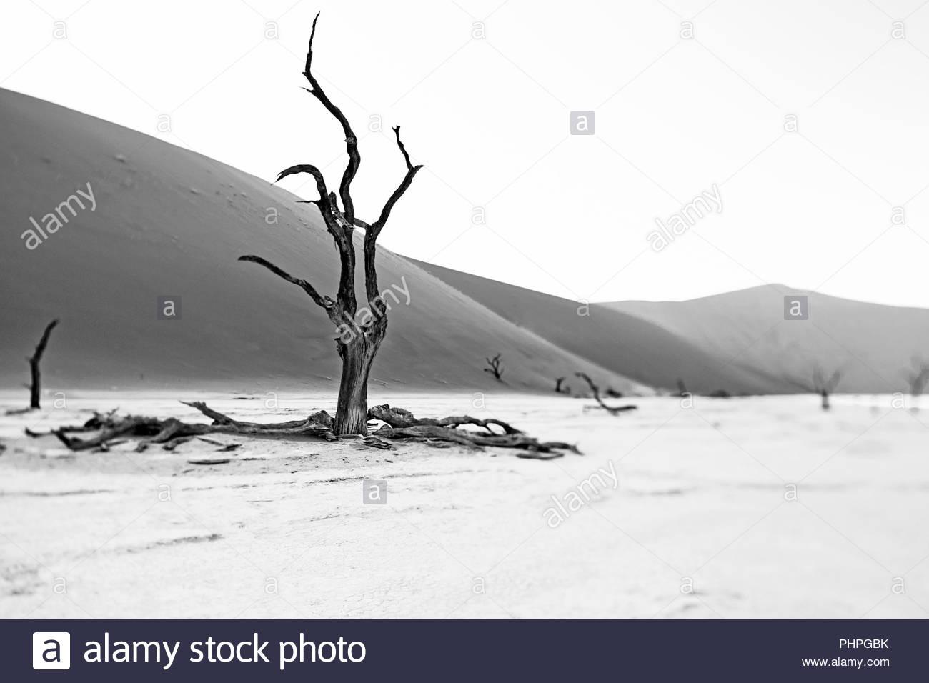 Bare tree on desert salt flat in Namibia - Stock Image