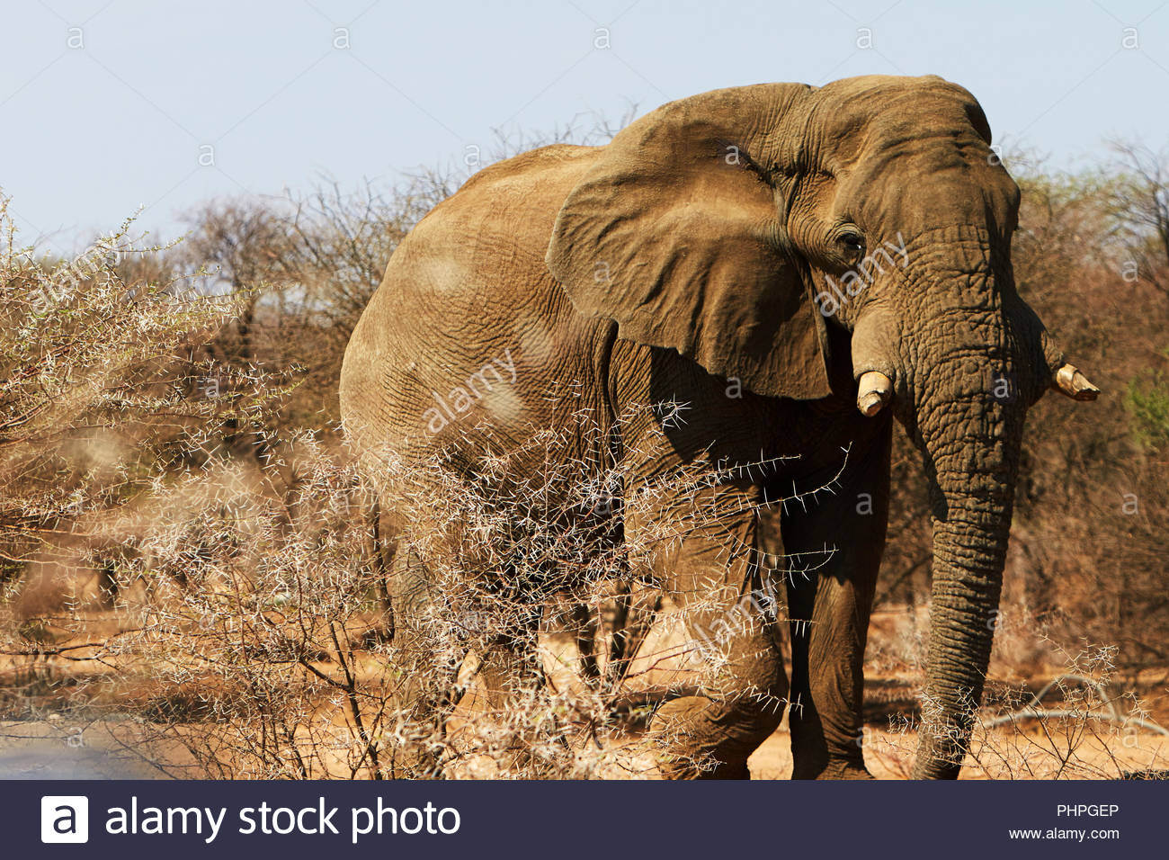 African elephant walking by trees - Stock Image