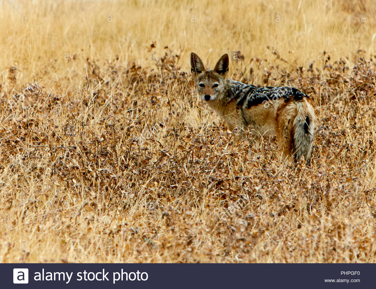 Jackal in field - Stock Image