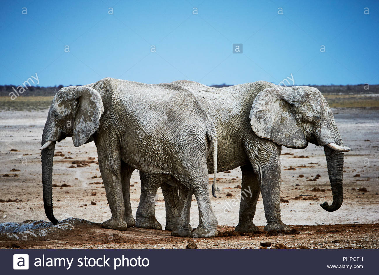 African elephants covered in mud - Stock Image