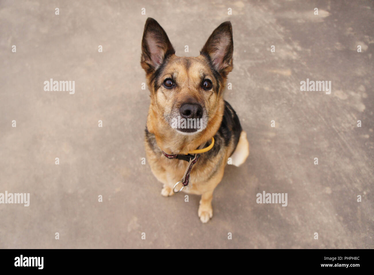An old shepherd is sitting patiently infront of the camera with her ears pointed, waiting for commands. - Stock Image