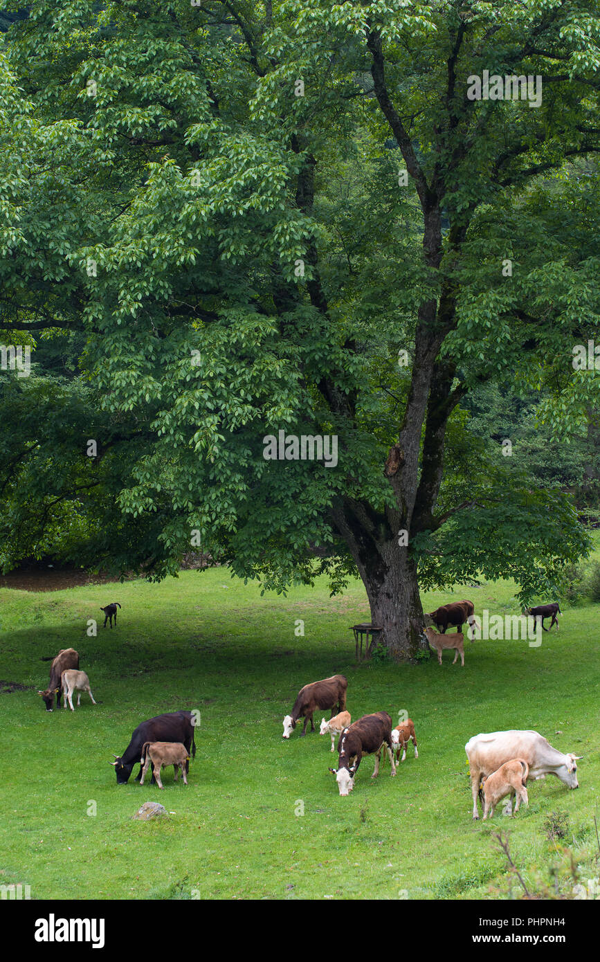 Herd of cow and calves grazing in meadow with fresh grass. - Stock Image
