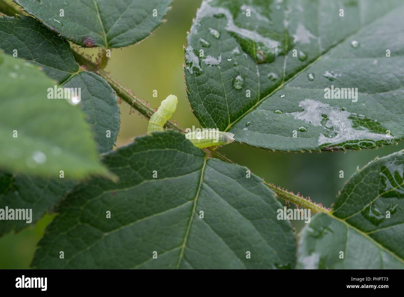 Green caterpillar of the little frostspanner butterfly on green leaves - Stock Image
