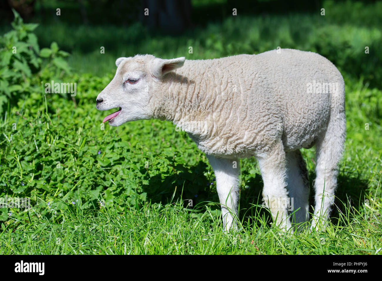 White lamb bleating and calling mother in meadow - Stock Image