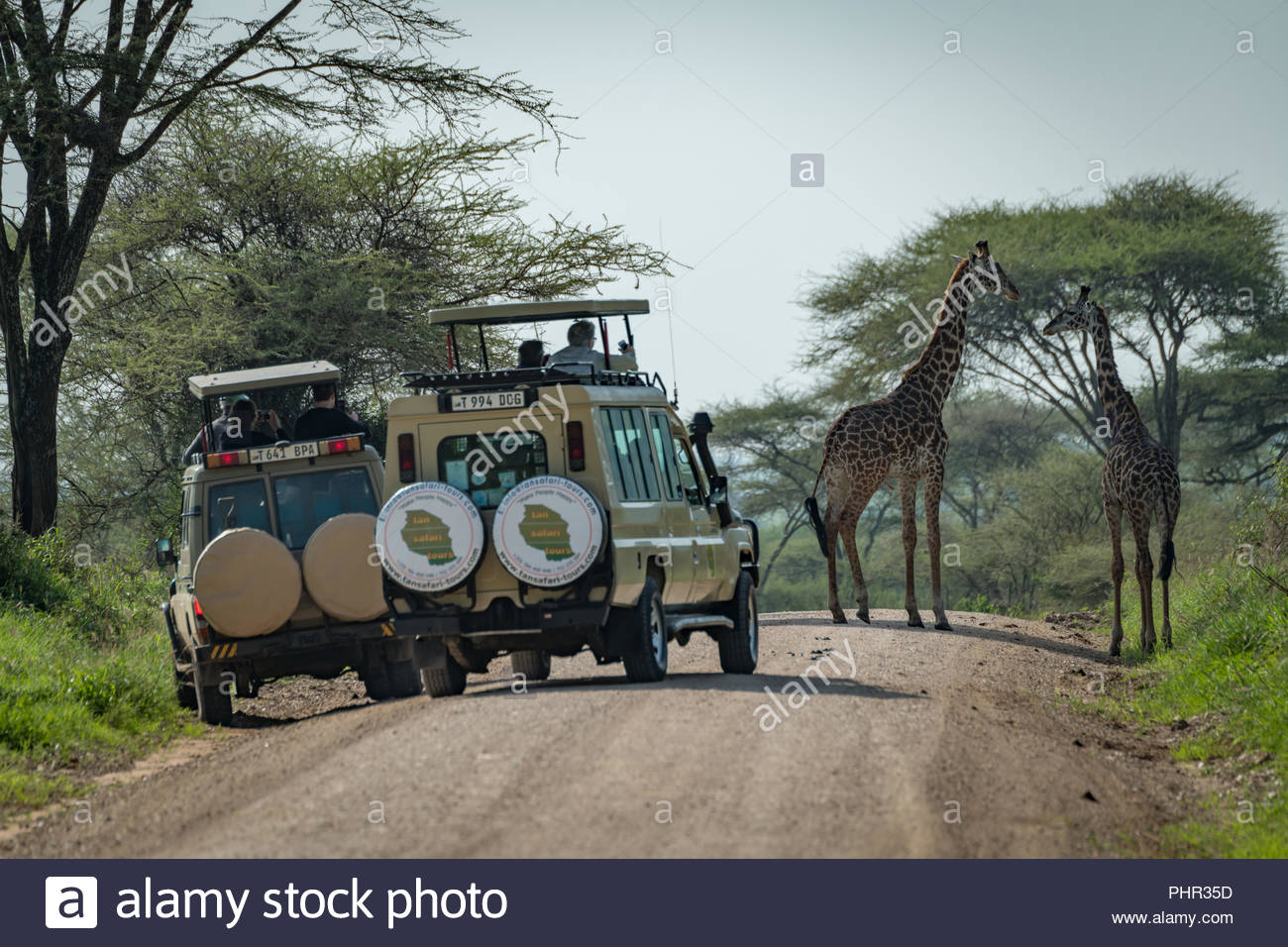 Masai giraffe watched by tourists in jeeps - Stock Image