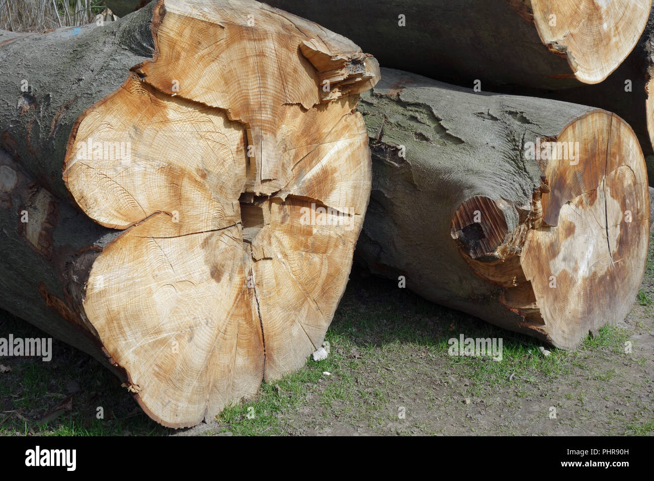 Stored tree trunks of beech Stock Photo