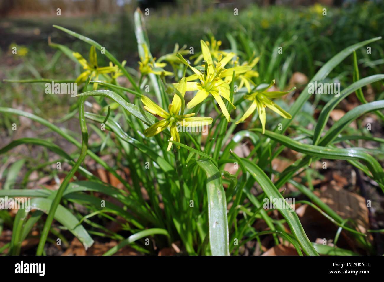 yellow sars Stock Photo