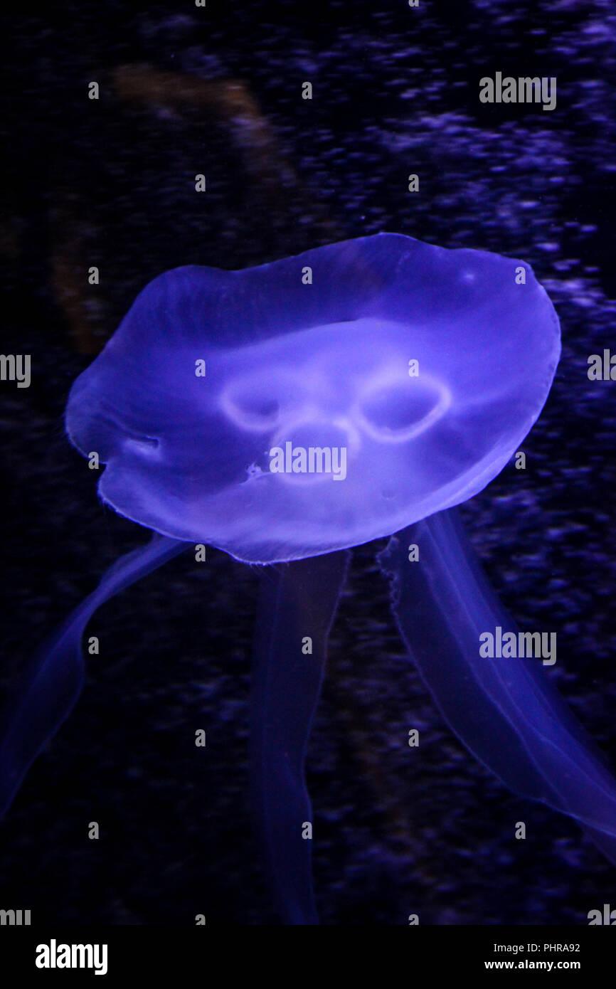 Jellyfish, medusa - Stock Image