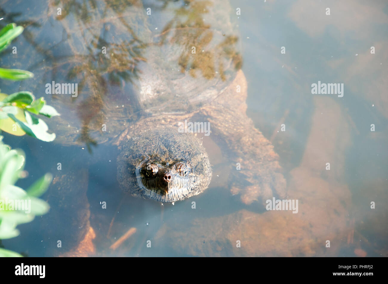 Snapping turtle in its environment. Stock Photo